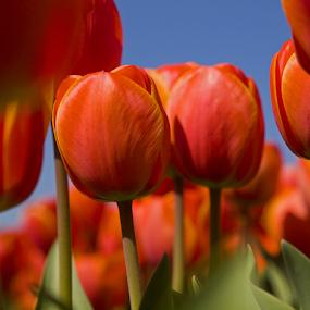 Tulip 6 by BertJan Niezing - Flowers Flower Gardens ( tulip field, tulip, holland, summer, sun )