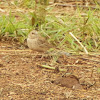Ashy-crowned sparrow lark (female)