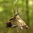 Spined Micrathena, female