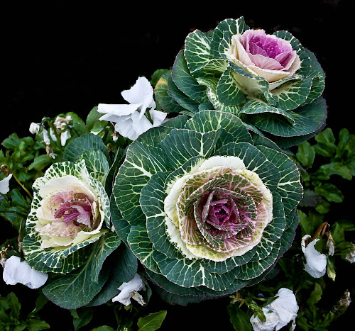 A Bunch Of Flowers by Brenda Hooper - Flowers Flower Gardens ( winter, purple, cabbage, green, white, pansies, flowers, , Flowers, Flower Arrangements )