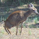 Mule Deer-female