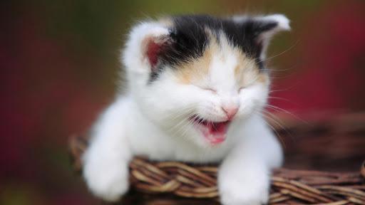 玩娛樂App Imagenes de gatos免費 APP試玩