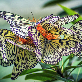 Butterfly Frenzy by Keith Walmsley - Animals Insects & Spiders ( orange, butterfly, nature, white, yellow, natural, black )