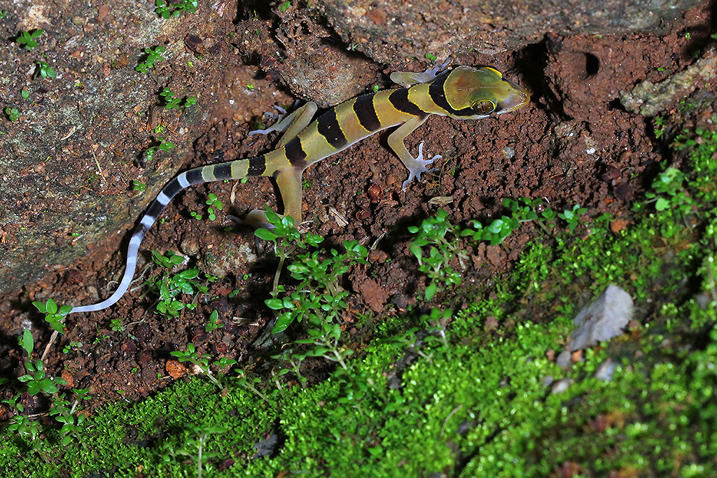 Boonsong's Bent-toed Gecko