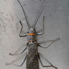 American Salmonfly