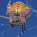 A very pregnant garden orb web spider.