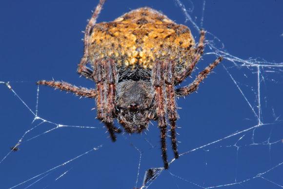 A Very Pregnant Garden Orb Web Spider Project Noah