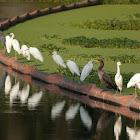 Egrets and a Cormorant