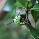 Brahmin caterpillar