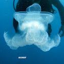 The blubber jellyfish