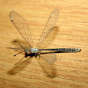 very small Antlion