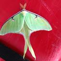 Luna moth.