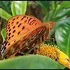 Indian Fritillary