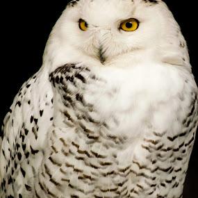 Louisville Owl by Russ Crane - Animals Birds ( bird, nature, zoo, owl, animal )