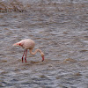 Flamenco (Greater flamingo)