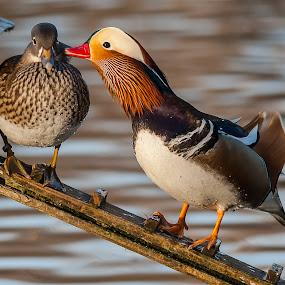 Kisssssssssss by Massimo Mazzasogni - Animals Birds ( love, kiss, mandarin duck, massimo mazzasogni, birds )