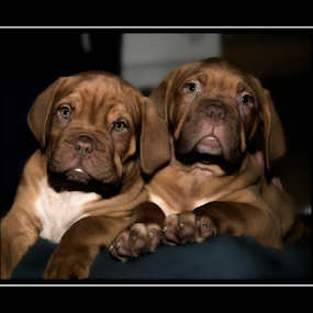 Brothers by Peter Wyatt - Animals - Dogs Puppies ( puppies, dogs, portrait, brothers, borbeaux, baby, young, animal )