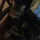 Domestic Cat (Bengal)