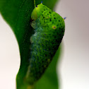 Tailed Jay Caterpillar