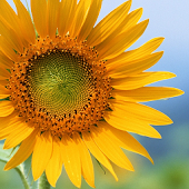 3D Sunflower Live Wallpaper