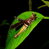 Infected Grasshopper