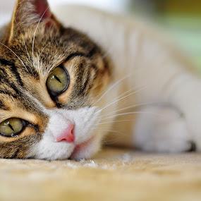 my precious by Ozge Kesim Yurtsever - Animals - Cats Portraits ( cat, cute cat, portrait of cat, #GARYFONGPETS, #SHOWUSYOURPETS,  )