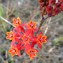 Red Milkweed