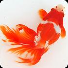 日本金魚図鑑 icon