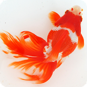 Japanese goldfish