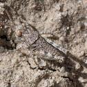 unknown grasshopper nymph