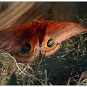 The Io Moth