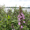 Marsh Woundwort or Marsh Hedgenettle