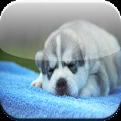 Cute husky HD Wallpaper