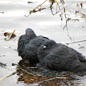 Rock Pigeon, Couple