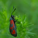 Red and black moth