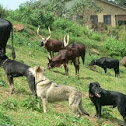 my dogs with ankole cattle