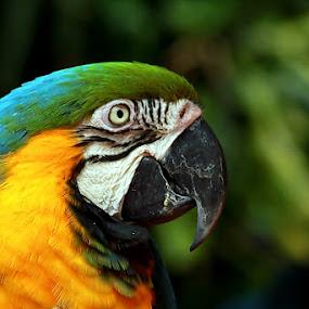 Mr.Nuri by Syafriadi S Yatim - Animals Birds ( #berbulu_cerah, #animal, #burung #kaka_tua #nuri )