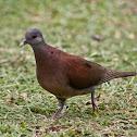 Malagasy turtle dove