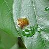 Golden Tortoise Beetle 龜金花蟲