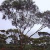 Griffith's Grey Gum