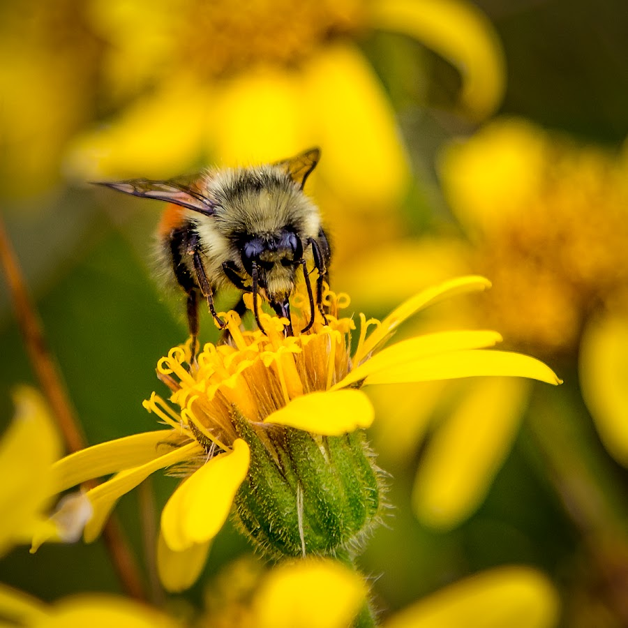 Bee At Work by Jason Hutchison - Flowers Flowers in the Wild ( pollen, bee, wings, green, yellow, flower,  )