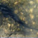 Shovelnose catfish
