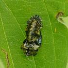 Empty ladybug pupa case