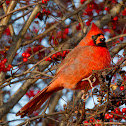 Cardinal Male and Female (winter plumage)