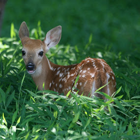 Fawn by Ken Keener - Animals Other Mammals ( babies, spotted, whitetail, baby, fawn, deer )