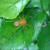 Spitting Spider