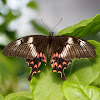 Common Mormon (Female Romulus form)