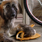 Afghan Hound Puzzle icon