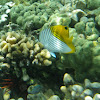 Threadfin Butterflyfish (kikakapu)