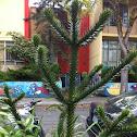 monkey (puzzle) tree